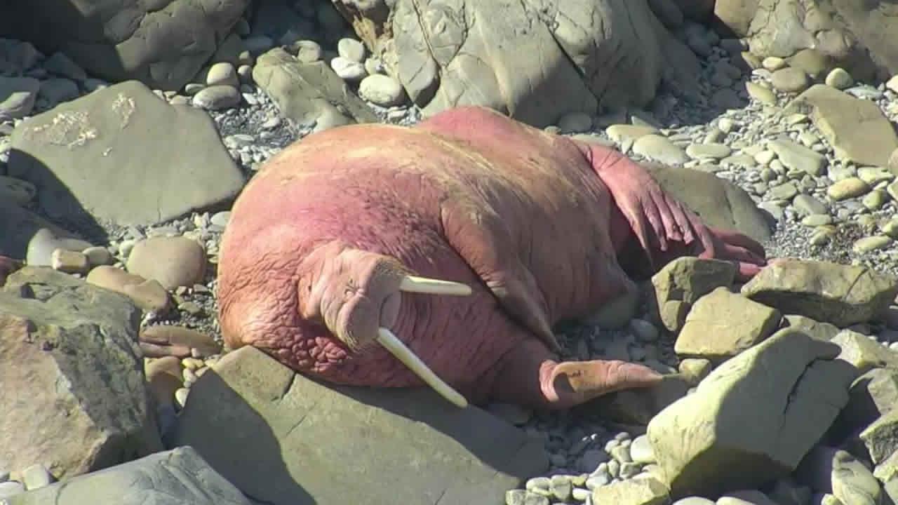 Walrus Cam